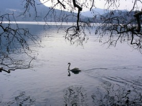 Elegant swan coasting on Lake Lugano
