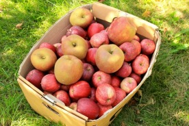apple harvest